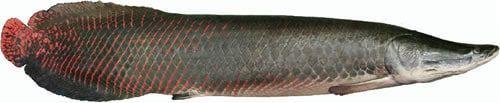 Pirarucu fish