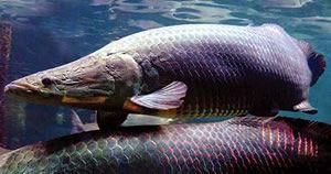 Pirarucu fish fact