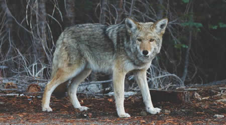 Can coyotes see green color