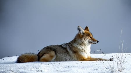 Can coyotes see red color